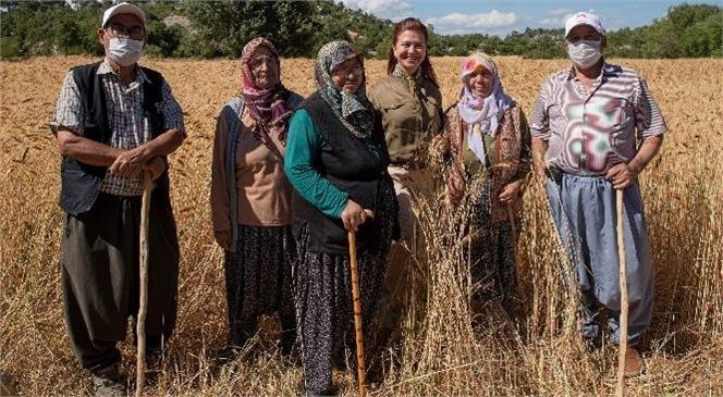 Büyükşehir'in Projesinde Ata Tohumu Sarı Buğdayda İkinci Hasat Yapılıyor, Üreticinin Yüzü Gülüyor
