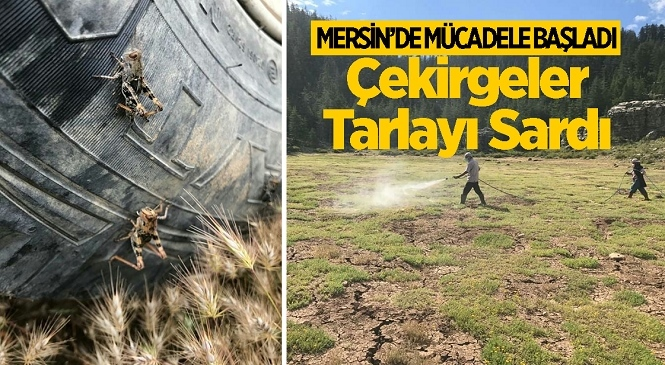 Mersin'in Anamur İlçesinde Devlet Yardımlı Çekirge Mücadelesi Başladı! Çekirgelerin Yoğunlukla Yaşadığı Yerlerde İlaçlama Yapıldı