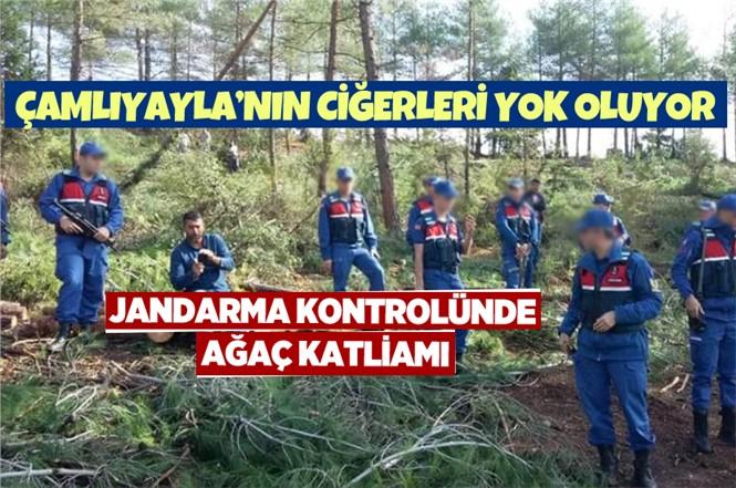 Çamlıyayla'da Çam Ağacı Katliamı Devam Ediyor