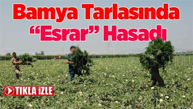Tarsus'ta tarlada ekili esrar ele geçirildi