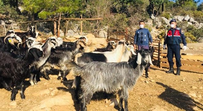 Mersin'de Bulundukları Ahırdan Çıkarak Kaybolan ve Çalındığı Değerlendirilen Keçiler 5 Km Uzakta Bulundu